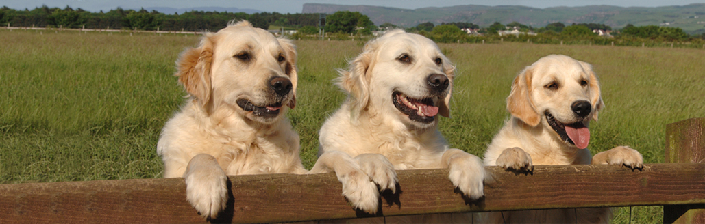 Bushbane Header image for Bushbane Golden Retrievers